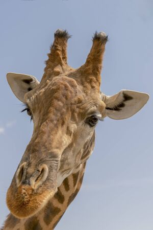 Giraffe against the sky. the head of a giraffe against the sky. copy space. Close-up. vertical photo. Imagens