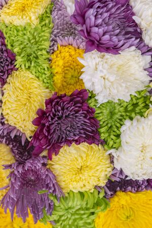 Multicolored Asters Background. Asters are multicolored, selective focus. Flowers Asters bright yellow, pale pink and white colors, close-up. vertical photo. Imagens