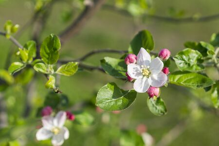 Beautiful blooming apple trees in spring park close up. The Apple tree blooms. Spring flowers. Imagens