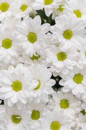Fresh white daisies. background. vertical photo.