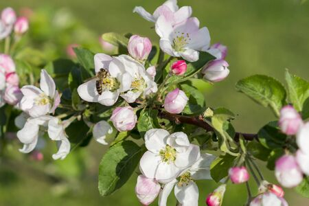 Honey bee pollinating apple blossom. The Apple tree blooms. Spring flowers.