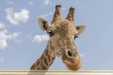 Giraffe against the sky. the head of a giraffe against the sky. copy space. Close-up.
