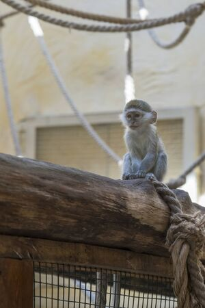 Adorable face of baby asian monkey. Young monkey sitting on an old log. vertical photo. blury. Banque d'images