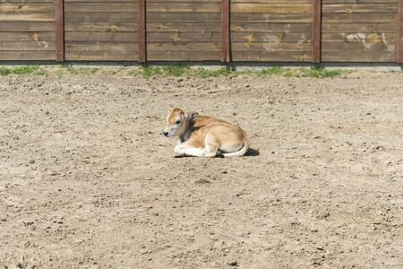 A young calf on a farm. Newborn calf lies on the sand in the paddock.