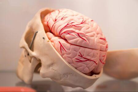 Layout of a cut human skull. Brain layout Banco de Imagens