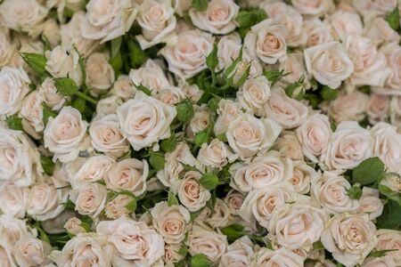 Beige roses background. White roses horizontal seamless pattern. White roses arrangement. A huge bouquet of beige roses Banco de Imagens