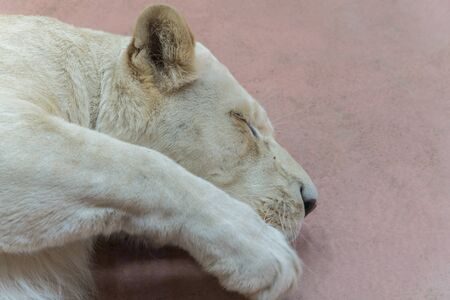 Sleeping lioness. close-up. A young lioness sleeps in a zoo. Banco de Imagens
