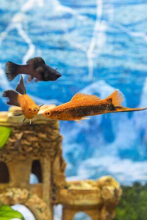 Tropical colorful fishes swimming in aquarium with plants. Goldfish, Carassius auratus, captive. Fish in the aquarium. vertical photo. Banco de Imagens