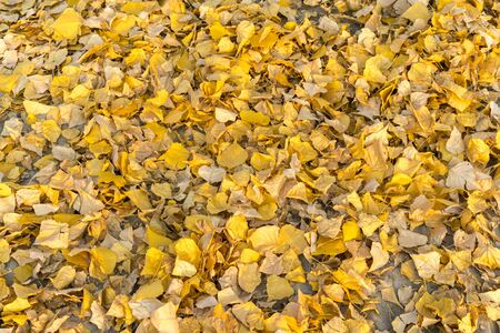 Natural autumn pattern background with dry and yellow mapple foliage. Fall leaves pattern. yellow leaves on the ground. background. Macro.
