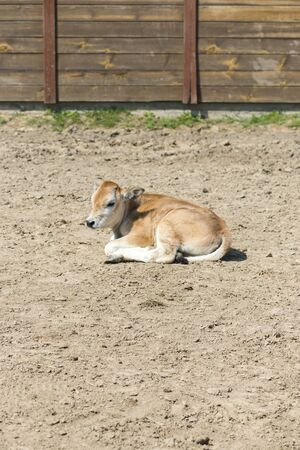 A young calf on a farm. Newborn calf lies on the sand in the paddock. vertical photo.
