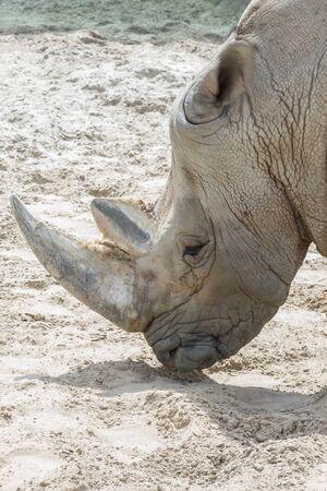 Close up portrait of rhino, profile. Rhino in the dust and clay walks. close-up. vertical photo.