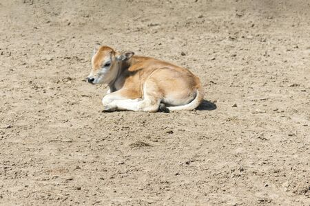 A young calf on a farm. Newborn calf lies on the sand in the paddock. Farming concept. Stock fotó