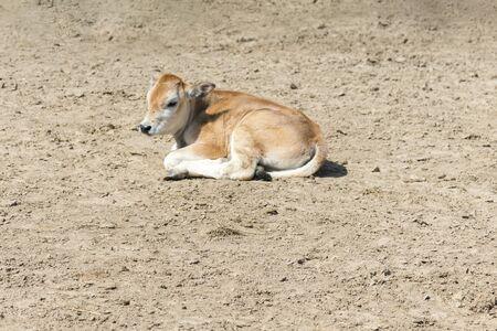 A young calf on a farm. Newborn calf lies on the sand in the paddock. Farming concept. Banco de Imagens
