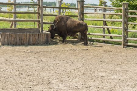 A bull on the farm drinks water. A brown bull in the pen drinks water from a special drinking bowl. Cattle breeding concept.