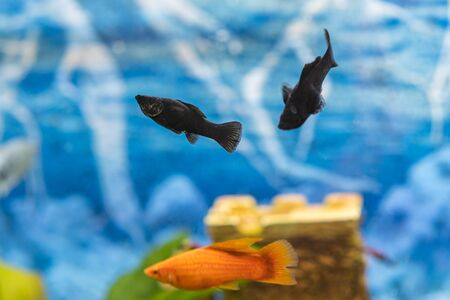 Tropical colorful fishes swimming in aquarium with plants. Goldfish, Carassius auratus, captive. Fish in the aquarium. Stock fotó - 134655086