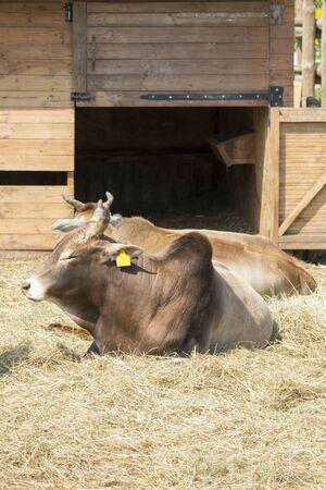 Buffalo on a farm in the corral. Farming concept. vertical photo.