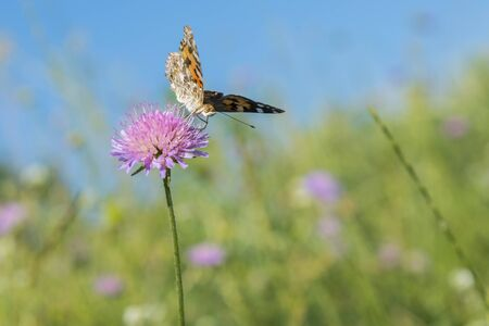 Butterfly on a flower in a field. Butterfly On Grass Field With Warm Light.