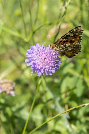 Butterfly on a purple flower on the field. close up. vertical photo.