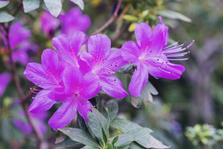 Violet azalea, concept of landscaping, bush of blooming azalea, background for a card.