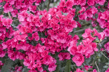 red azalea, gardening concept, bush of blooming azalea, background for a card. Spring flowers.