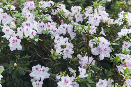 White azalea with violet spots in the flowering period on the background of leaves and branches, close up.