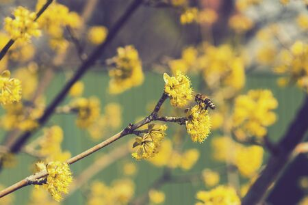 bee on a cornel tree. Yellow flowers. The concept of the arrival of spring.Honey production. . Blooming tree, close up. Honey Bee collects pollen from fruit tree. Dogwood tree in bloom.