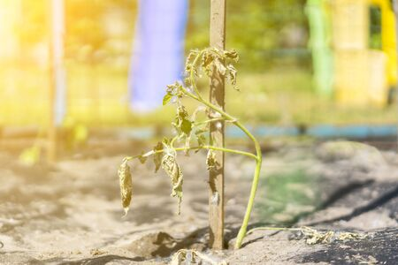 The dried bush of a tomato. The plant withered from lack of water. World Drought. wilted pot plant. drought. dried plants. toned.