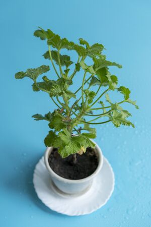plant in the pot. leaves. home plant care concept. vertical photo. Stock fotó