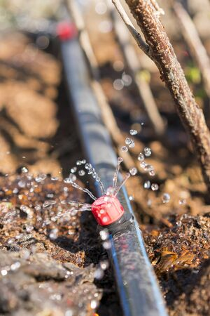 Sprinkler systems, drip irrigation, watering lawns. Drip Irrigation System Close Up. Water saving drip irrigation system being used in a organic onions field. vertical photo. toned.
