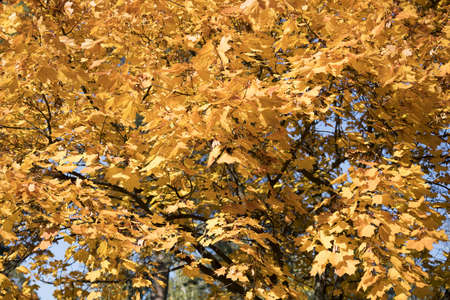 Fall background. Autumn foliage. The bright yellow autumn leaves of the maple are illuminated by the suns rays against the back