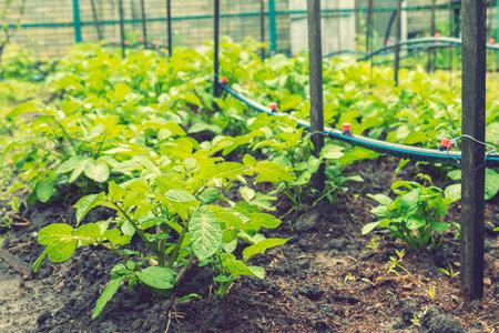 Field of green potato bushes. Rows on Potato field with green bushes. potato bushes in the garden. Automatic watering in a potato field. toned