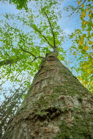 Bottom view to the tree top of a huge Plane tree or Platanus in jungle forest. View from the bottom of the tree crowns against blue sky. Trees bottom view tree crowns green tops. toned