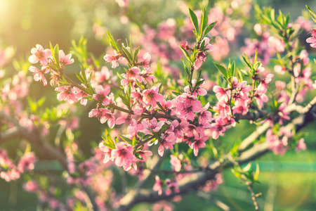 Pink Flowers Blooming Peach Tree at Spring. Beautiful peach blossom. toned