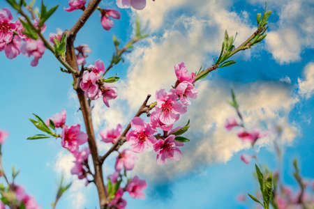 Pink Flowers Blooming Peach Tree at Spring. Bright Blue Sky as Background. Beautiful peach blossom. toned