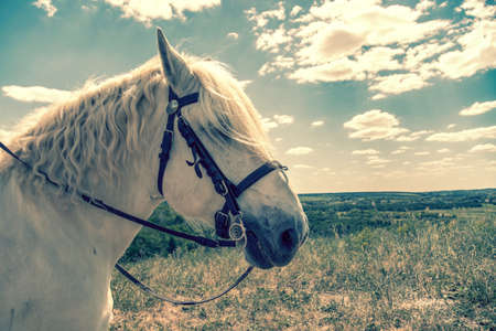 White horse standing at top of a hill with blue sky background. Horse head close up. White speckled horse. Profile of white speckled horse. toned.