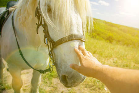 Person touching a horse by hand. he concept of human-nature relations. Animal care. Farm Feeding. White hourse with light eyes. Woman's hand stroking a horse. toned. 免版税图像