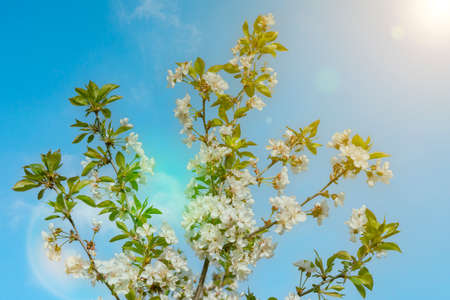 branches and flowers of cherry blossoms against a blue sky. natural background. Blooming plant branches in spring warm bright sunny day. White tender flowers background. Spring symbol. toned 免版税图像