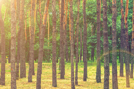 Early morning with sunrise in pine forest. Sunlight on trees in a pine forest at sunset. Summer nature landscape. toned