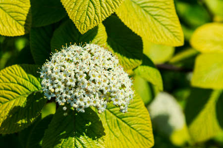 Close up of blooming white crape myrtle flower and buds. Branches of a flowering white bush of hydrangea close-up on a blurred background Standard-Bild