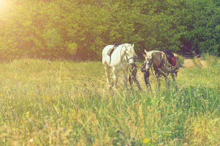 Pair of horses in nature. Horses on a summer field. toned