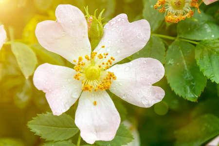 pink jasmine flower after rain. Blooming droplet after rain in green garden on branch tree green background. toned Standard-Bild