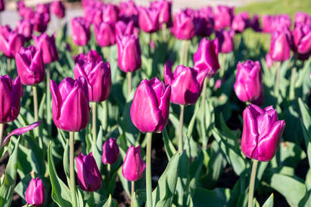 Many buds of dark purple blossoming tulips in the garden. Flowerbed with pink tulips in spring
