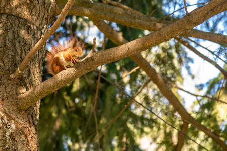 Squirrel with a nut on the tree . Funny squirrel whis a nut . Sciurus. Rodent. A squirrel sits on a tree and eats a nut. Beautiful squirrel in the park Standard-Bild