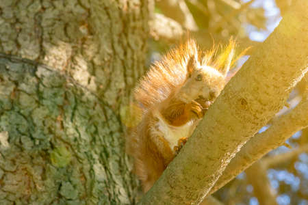 Squirrel with a nut on the tree . Funny squirrel whis a nut . Sciurus. Rodent. A squirrel sits on a tree and eats a nut. Beautiful squirrel in the park. toned