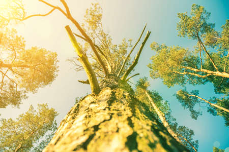 Tree top seen from the bottom. Up view of tree and sunlight effect. suns rays make their way through the branches of a tree. Deciduous tree seen from the bottom. toned