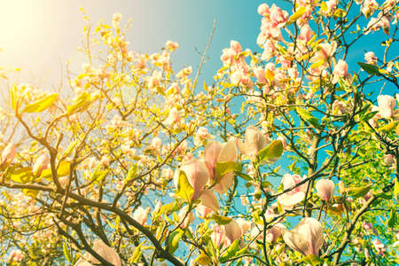 beautiful magnolia blossoms in the spring. Beautiful magnolia tree blossoms in springtime. Magnolia blossomed on sky background. Beginning of spring. beautiful flowers.