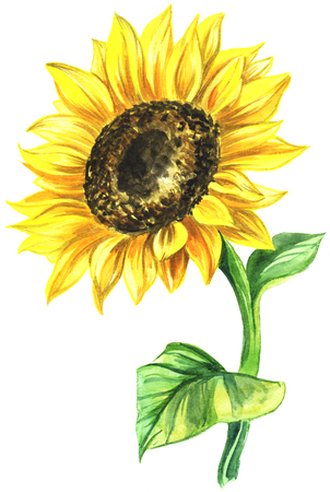 watercolor painted sunflower. painted on paper single flower in color.