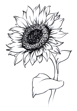 watercolor painted sunflower. painted on paper single flower contour. 스톡 콘텐츠