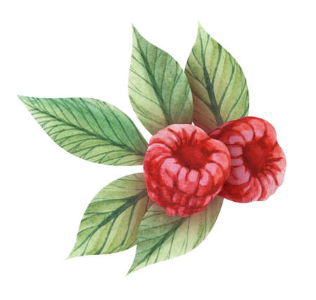 Watercolor image of appetizing ripe raspberries among green leaves isolated on white background. Hand drawn illustration of garden berry. Fresh decoration for dessert