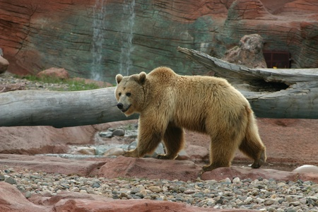 arctos: Grizzly with Waterfall Stock Photo